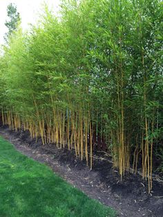 Phyllostachys aureosulcata 'Spectabilis' Common Name: Spectabilis Maximum Height: 25 to 30 feet Diameter: 2 inches  Hardiness: -10º F  Recommended USDA zone 5 through 10.