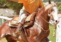 Cavalo crioulo - Nissan de São Marcelo