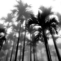 Number Black and White by Connie- I wish I was in palm tree weather right now. This photo looks awesome, I like how it looks foggy. Magritte, Palm Tree Pictures, Cool Pictures, Photography Guide, Beach Photography, Food Photography, Take Better Photos, Great Photos, Black And White Beach