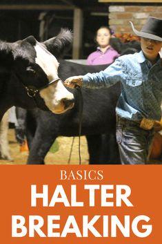 Halter Breaking Basics Easy halter breaking tips to make breaking cattle to lead more fun Stock Sh Livestock Judging, Livestock Farming, Showing Livestock, Steer Cow, Show Steers, Show Cows, Pig Showing, Raising Cattle, Teacup Pigs