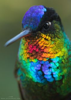 "itscolossal: ""A Spectacular Close-Up View of a Fiery-Throated Hummingbird by Jess Findlay """
