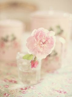 Soft pink old garden rose