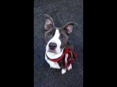 VELVET – A1058521   Help us Save NYC AC&C Shelter Dogs