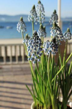 Nuestra #muscari esta dando la bienvenida a la #primavera . Gozamos de un tiempo estupendo.  #HotelGranProa #springisintheair #raxó #primaveraengalicia #travelgalicia #igerspontevedra #riasbaixas #galifornia #sientegalicia #greenspain #зеленаяиспания #галисия #visitgalicia #blooming #natureaaddict #blueflowers #floresdeprimavera #floresdegalicia #цветы #primaveraenelaire