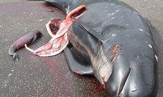 whale slaughther faroe islands - Google zoeken