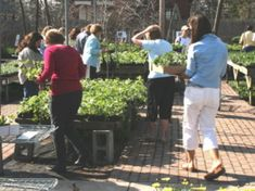 49 Cent Perennial Sale from Mischler's Florist and Greenhouses in Williamsville, NY--Starts April 22