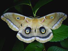 antheraea polyphemus   Antheraea polyphemus – Polyphemus Moth   Prairie Haven