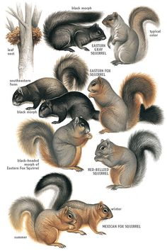 Types of Squirrels | Eastern & Tropical Tree Squirrels -MBW-                                                                                                                                                      More