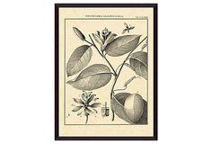 Vintage Botanical Study III on OneKingsLane.com