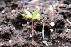 how to start seeds in just 3 days, gardening, 3 days later your have seedlings