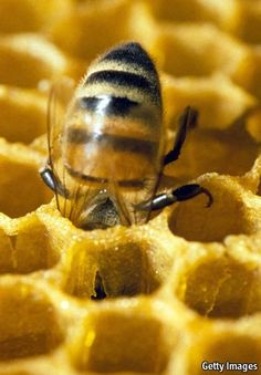 Amber nectar: A busy bee in a honeycomb. Royal jelly is a thick, milky-white substance secreted by the glands of honeybees. And Queen bees l. I Love Bees, Birds And The Bees, How To Kill Bees, Bees And Wasps, Royal Jelly, Bee Art, Busy Bee, Save The Bees, Bee Happy