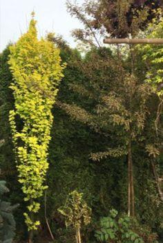 Stożkowata forma i liście w jasnych kolorach sprawiają że Wiąz holenderski WREDEI pięknie wpisuje się w zielone kompozycje ogrodowe. W tym ciekawym drzewie wszystkie gałęzie skierowane są pionowo ku górze, a młode liście są jasnożółte, starsze żółte i żółtozielone. Lubi stanowisko słoneczne i półcieniste. Plants, Plant, Planets