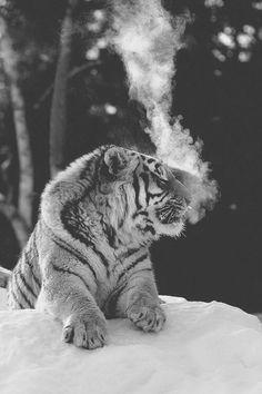 Tiger. °