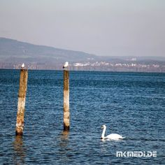 Markus Medinger Picture of the Day | Bild des Tages 13.11.2017 | www.mkmedi.de #mkmedi  #schwan #swan #cygnini  #bodensee #lakeconstance #badenwuerttemberg #germany #deutschland  #instagood #photography #photo #art #photographer #exposure #composition #focus #capture #moment  #365picture #365DailyPicture #pictureoftheday #bilddestages #nature  @badenwuerttemberg @visitbawu @wirzeigens @bodenseebilder @bodensee.de @bodensee.eu