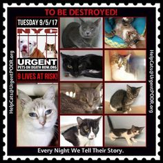 "TO BE DESTROYED 9/5/17 - - Info  Please share View tonight's list here: http://nyccats.urgentpodr.org/tbd-cats-page/. The shelter closes at 8pm. Go to the ACC website( http:/www.nycacc.org/PublicAtRisk.htm) ASAP to adopt a PUBLIC LIST cat (noted with a ""P"" on their profile) and/or … CLICK HERE FOR ADDITIONAL…Please…Please...-  Click for info & Current Status: http://nyccats.urgentpodr.org/to-be-destroyed-32017/"