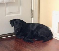 Black Labs, Black Labrador, Labrador Retriever, Labrador Puppies, Retriever Puppies, Corgi Puppies, Yellow Lab Puppies, Equine Photography, Hunting Dogs