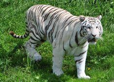 Animals, White Tigers, Camel, Animales, Animaux, Animal, Animais