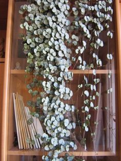 Rosary Vine, String of Hearts Ceropegia woodii - a fave that I have, holding on to a string!!