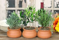 Oh, I want an olive tree in my home!