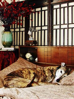 Red Brindle Greyhound with Chinese backdrop.