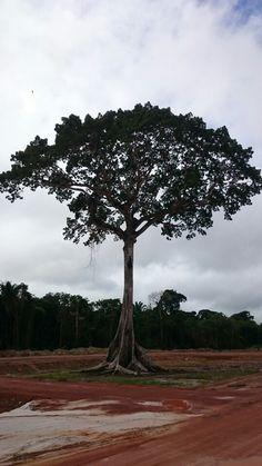 Kankantrie tree