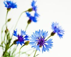 25 Off Cornflower  beautiful fine art photography by MyMonography  Cornflowers were my dad's favourite flowers - I always think of him when I see a pic of them .....