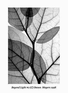 Gallery.ru / Фото #8 - рентген цветов - PervocveT