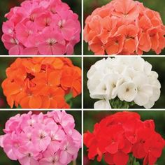 Geranium Parade bedding plants are available in different pack sizes. The patchwork includes different colours and is suitable for a mixed display. Bright Bedding, Geraniums, Different Colors, Gardening, Colours, Rose, Flowers, Plants, Inspiration