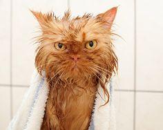 4. Que le chat soit noir et blanc ou roux, dans tous les cas il n'aimera pas ce bain que vous lui proposez, et ça se voit