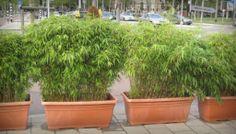 Fargesia 'Rufa bamboo