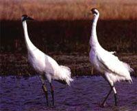 Whooping cranes migrate through Nebraska each spring & fall