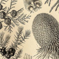 Ernst Haeckel flowers   Conifers and Mycetazoa 1990 Ernst Haeckel Art Forms in Nature Lithos ...