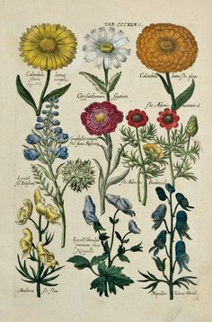 Floral studies including Calendulas & Chrysanthemums from Viridarium Reformatum, seu Regnum Vegetabile: Krauter Buch (Newly Revised Garden of the Plant Kingdom: Herb Book), Michael Bernhard Valentini (1657-1729) editor. Frankfurt, Anton Heinscheidt, 1719.  Source - theantiquarium.com