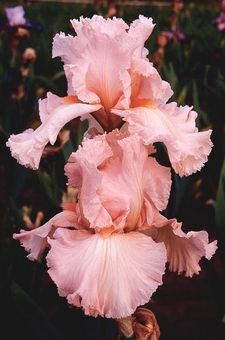 "Happenstance       37"" tall pink midseason blooming bearded iris.      