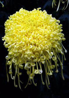 Yellow Chrysanthemum at Longwood Gardens