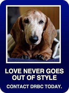 Morrisville, PA - Dachshund Mix. Meet GrandPaws Program, a dog for adoption. http://www.adoptapet.com/pet/9386195-morrisville-pennsylvania-dachshund-mix