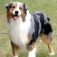 The colors of Australian Sheperds never cease to amaze me.