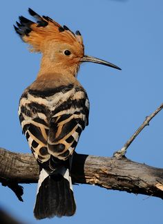 Eurasian Hoopoe | by jvverde