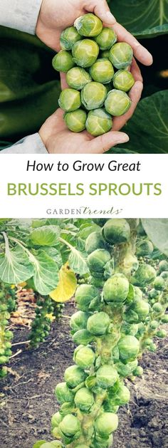 Brussels Sprouts are grown much the same way as broccoli, but timed for a late fall/early winter harvest, as the quality improves after freezing weather. Sprouts mature from the bottom up. Remove lower leaves as they yellow, and first pick sprouts at the bottom of the stalk. When lower sprouts are removed, the higher ones will mature more quickly. Click here to learn how to grow great brussels sprouts! #gardentrends #growyourown #vegetablegarden #brusselssprouts