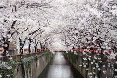 Cherry blossom tunnel over Meguro River in Tokyo, Japan