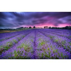 """""""Kentish Lavender Sunset"""" - is home to the largest growers of in the UK. Imagine how incredible this would smell! Bold Colors, Colours, Difficult Puzzles, Wooden Puzzles, Contemporary Art, Lavender, Country Roads, The Incredibles, Sunset"""