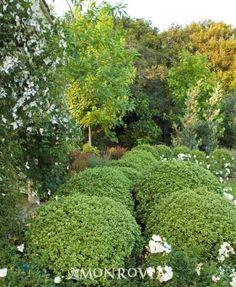 Pittosporum tenuifolium 'Golf Ball' P.P. #15,329 - sun/ps, z8-11, 3-4'x3-4' dense round shrub, light green, regular watering, e/green