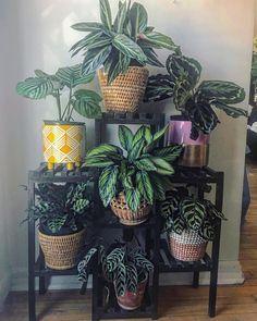 Perfection! Calatheas, Stromanthe and Ctenanthe. 😍😍😍 Photo: @elsabotanica ____ #calathea #stromanthe #ctenanthe #williamstown #seddon… Plants