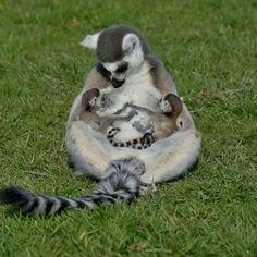 Breastfeeding lemur
