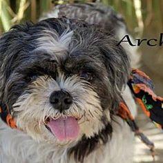 Coldwater, Michigan - Shih Tzu. Meet Archie, a for adoption. https://www.adoptapet.com/pet/19871089-coldwater-michigan-shih-tzu-mix