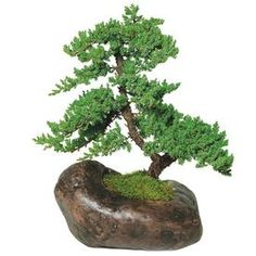 "The Green Mound Juniper Bonsai Tree from Nursery Tree Wholesalers is by far the most popular bonsai in the United States. When most people think of a ""bonsai tree"", a picture of this beautiful bonsai Outdoor Bonsai Tree, Bonsai Trees For Sale, Bonsai Tree Types, Indoor Bonsai, Bonsai Plants, Bonsai Garden, Ficus, Growing Tree, Growing Plants"