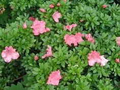 Azalea 'Gumpo Pink' from David's Nursery