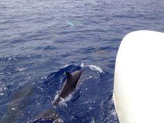 Dolfijnen op madeira