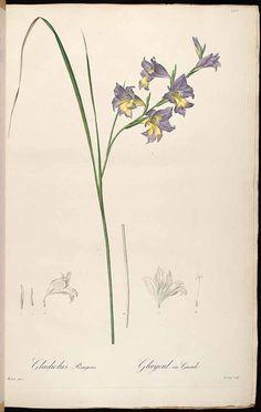 37282 Gladiolus carinatus Aiton [as Gladiolus ringens Andrews] / Redouté, P.J., Les Liliacées, vol. 3: t. 123 (1805-1816) [P.J. Redouté]