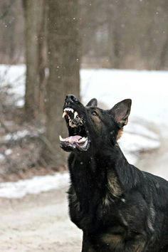 GSD's, very gentle dogs but not to be underestimated, powerhouse relatives of the wolf.